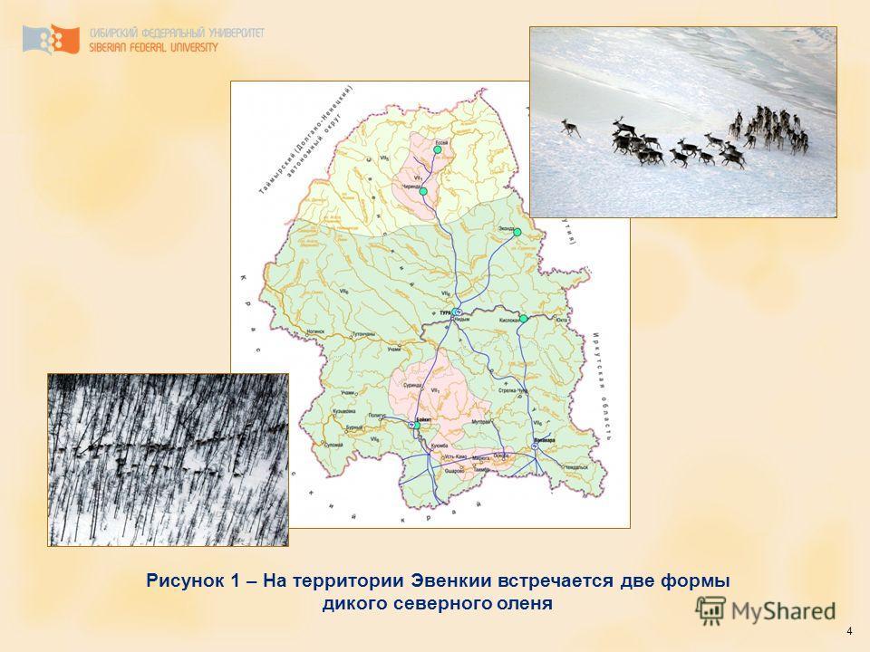 4 Рисунок 1 – На территории Эвенкии встречается две формы дикого северного оленя