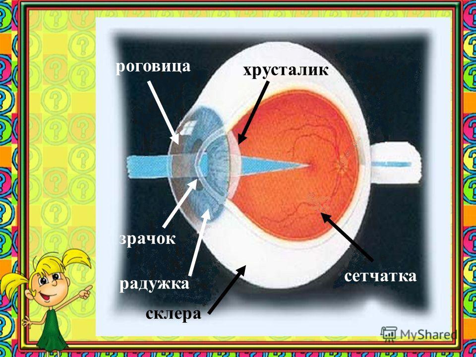склера роговица радужка зрачок хрусталик сетчатка