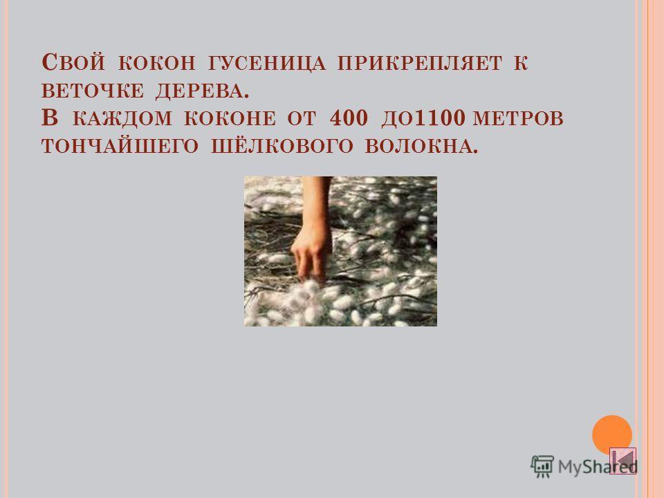 С ВОЙ КОКОН ГУСЕНИЦА ПРИКРЕПЛЯЕТ К ВЕТОЧКЕ ДЕРЕВА. В КАЖДОМ КОКОНЕ ОТ 400 ДО 1100 МЕТРОВ ТОНЧАЙШЕГО ШЁЛКОВОГО ВОЛОКНА.