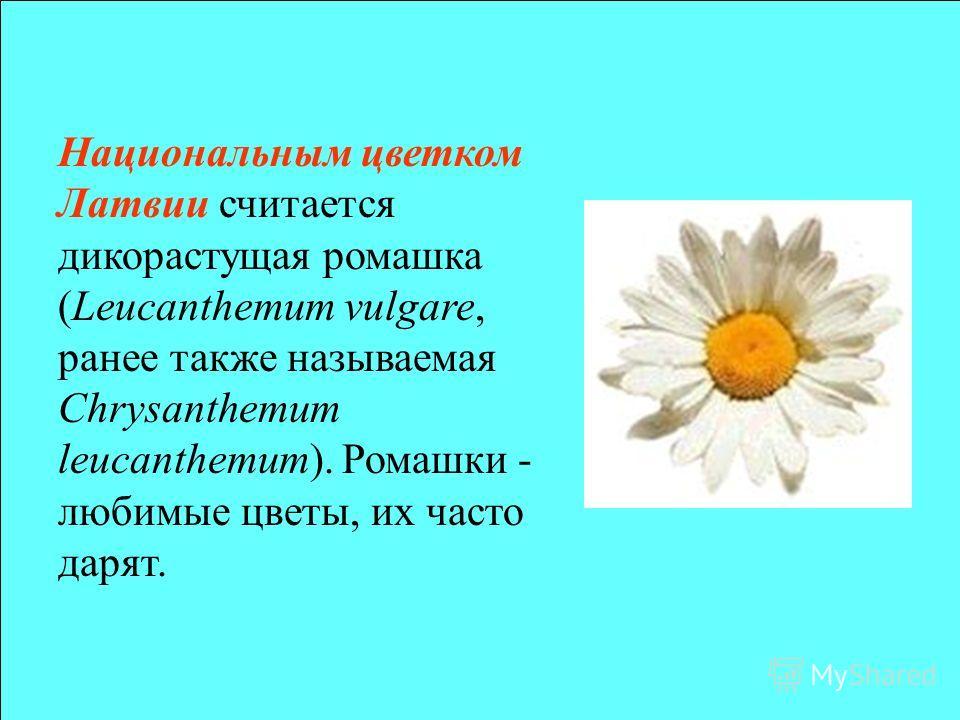 Национальнам цветком Латвии считается дикорастущая ромашка (Leucanthemum vulgare, ранее также называемая Chrysanthemum leucanthemum). Ромашки - любимые цветы, их часто дарят.
