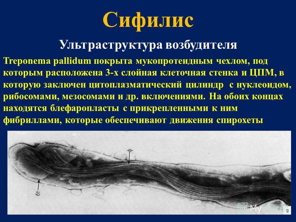 Сифилис Ультраструктура возбудителя Treponema pallidum покрыта мукопротеидным чехлом, под которым расположена 3-х слойная клеточная стенка и ЦПМ, в которую заключен цитоплазматический цилиндр с нуклеоидом, рибосомами, мезосомами и др. включениями. На