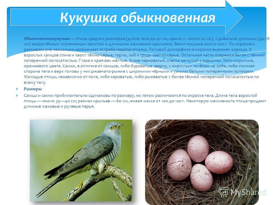 Обыкновенна кукушка птица средних размеров (длина тела до 40 см, крыла около 22 см), с довольно длинным (до 18 см) закруглённым ступенчатым хвостом и длинными маховыми крыльями. Весит кукушка около 100 г. По окраске и размерам она несколько напоминае