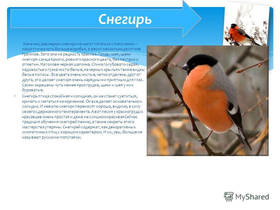 Конечно, размером снегири не могут тягаться с попугаями – наша птичка чуть больше воробья, а весит несколько десятков граммов. Зато она на редкость красива. Грудь, шея, щеки снегиря-самца яркого, ровного красного цвета, без пестрин и отметин. На голо