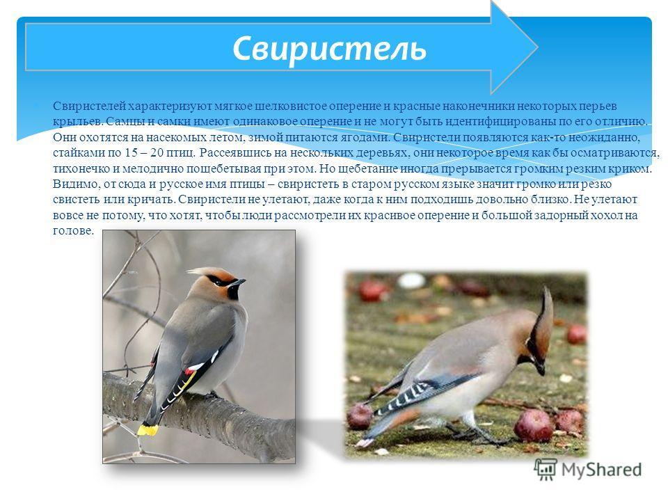 Свиристелей характеризуют мягкое шелковистое оперение и красные наконечники некоторых перьев крыльев. Самцы и самки имеют одинаковое оперение и не могут быть идентифицированы по его отличию. Они охотятся на насекомых летом, зимой питаются ягодами. Св