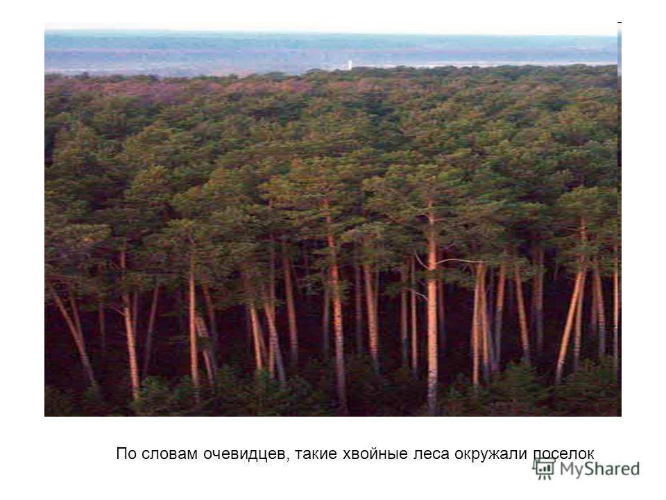 По словам очевидцев, такие хвойные леса окружали поселок