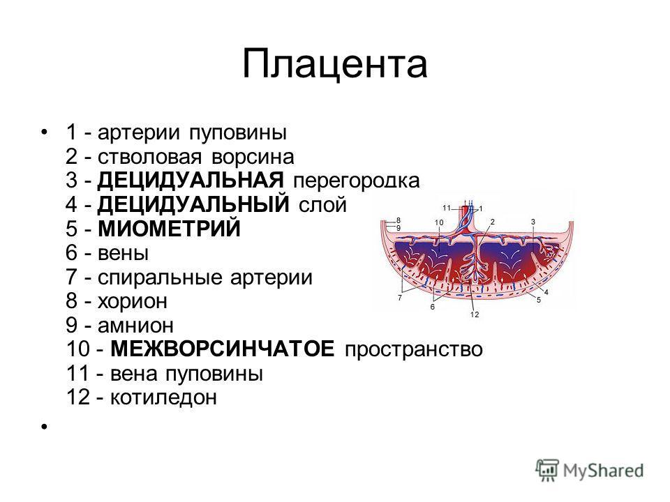 Плацента 1 - артерии пуповины 2 - стволовая ворсина 3 - ДЕЦИДУАЛЬНАЯ перегородка 4 - ДЕЦИДУАЛЬНЫЙ слой 5 - МИОМЕТРИЙ 6 - вены 7 - спиральные артерии 8 - хорион 9 - амнион 10 - МЕЖВОРСИНЧАТОЕ пространство 11 - вена пуповины 12 - котиледон
