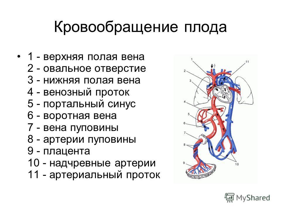 Кровообращение плода 1 - верхняя полая вена 2 - овальное отверстие 3 - нижняя полая вена 4 - венозный проток 5 - портальный синус 6 - воротная вена 7 - вена пуповины 8 - артерии пуповины 9 - плацента 10 - надчревные артерии 11 - артериальный проток