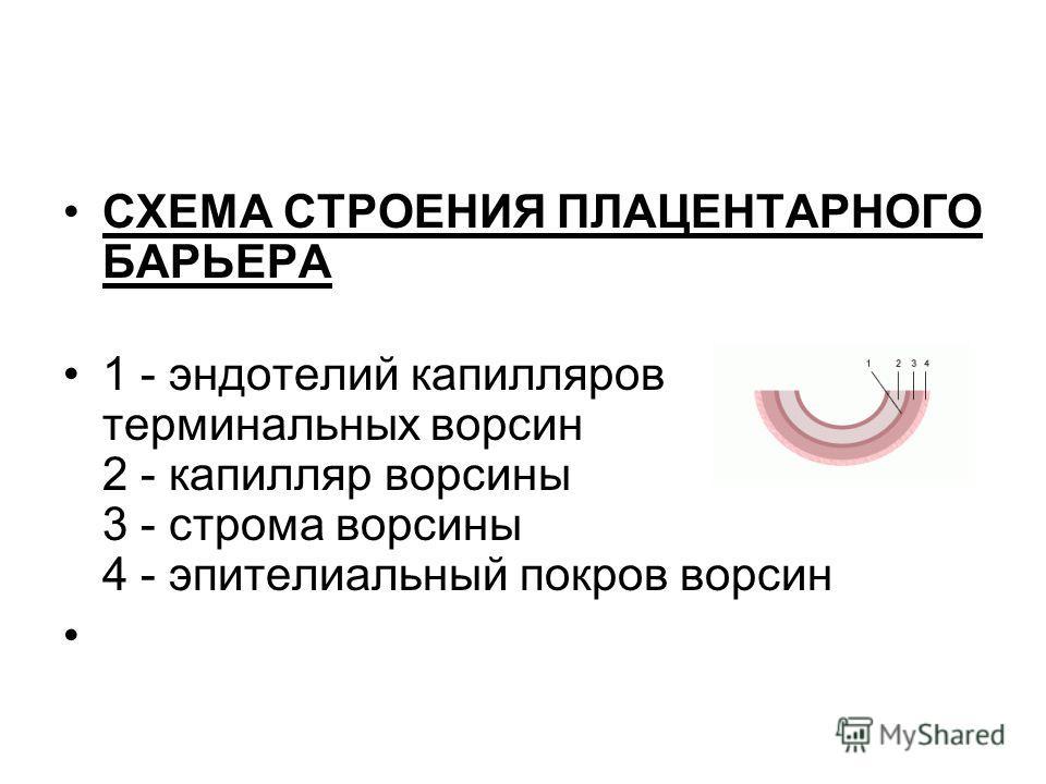 СХЕМА СТРОЕНИЯ ПЛАЦЕНТАРНОГО БАРЬЕРА 1 - эндотелий капилляров терминальных ворсин 2 - капилляр ворсины 3 - строма ворсины 4 - эпителиальный покров ворсин