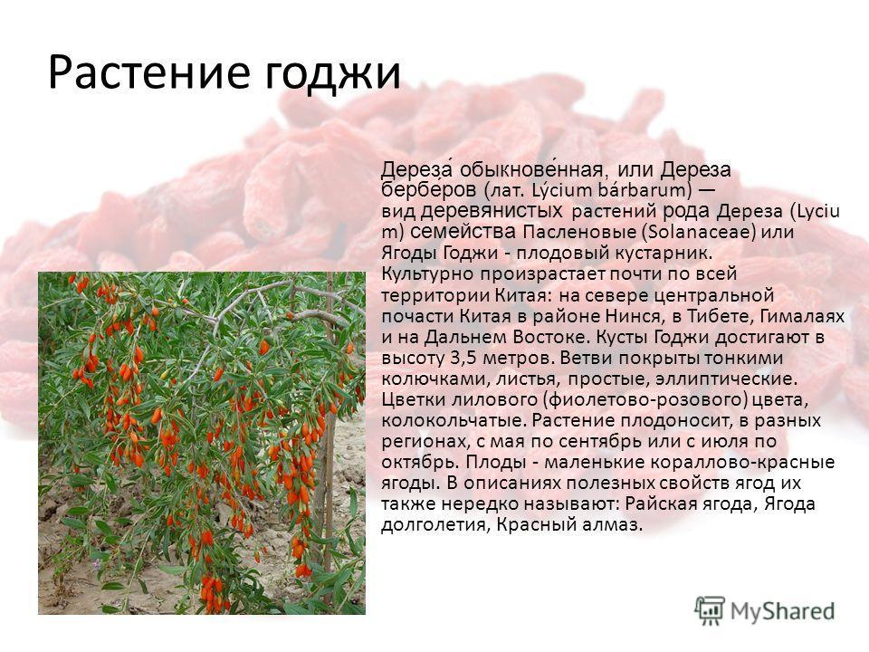 Растение гаджи Дереза́ обыкнове́нная, или Дереза бербе́ров (лат. Lýcium bárbarum) вид деревянистых растений рода Дереза (Lyciu m) семейства Пасленовые (Solanaceae) или Ягоды Годжи - плодовый кустарник. Культурно произрастает почти по всей территории