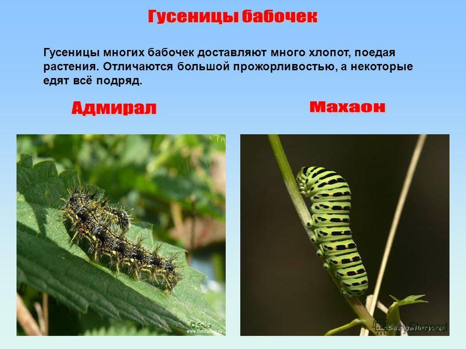 Гусеницы многих бабочек доставляют много хлопот, поедая растения. Отличаются большой прожорливостью, а некоторые едят всё подряд.