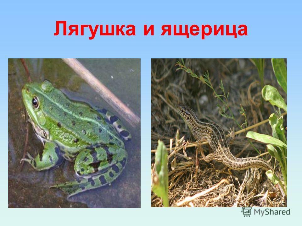 Лягушка и ящерица