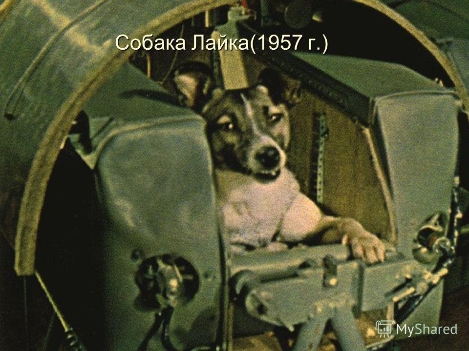 Собака Лайка(1957 г.)
