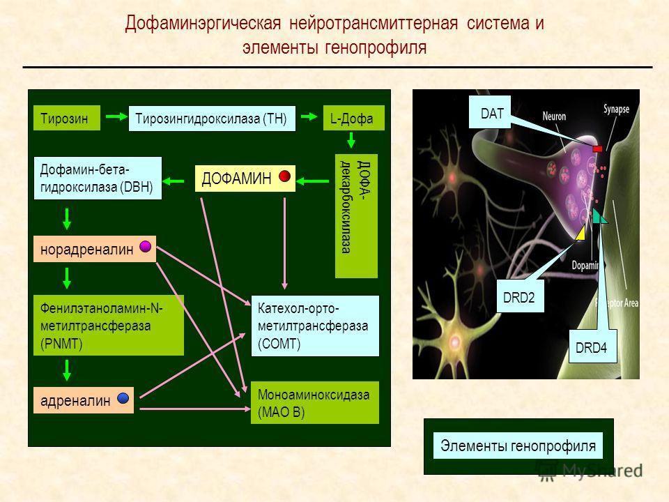 Дофаминэргическая нейротрансмиттерная система и элементы генной профиля DRD4 DAT DRD2 Тирозин Тирозингидроксилаза (ТН) L-Дофа ДОФА- декарбоксилаза ДОФАМИН Дофамин-бета- гидроксилаза (DBH) норадреналин Катехол-орто- метилтрансфераза (СОМТ) Фенилэтанол