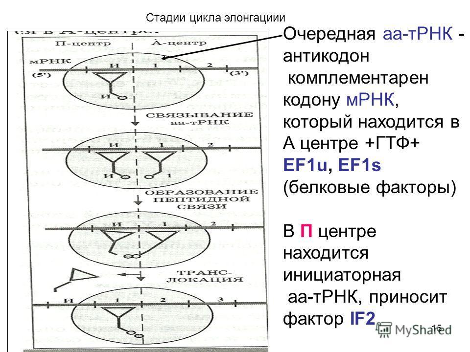 15 Стадии цикла элонгации Очередная а-тРНК - антикодон комплементарен кодону мРНК, который находится в А центре +ГТФ+ EF1u, EF1s (белковые факторы) В П центре находится инициаторная а-тРНК, приносит фактор IF2