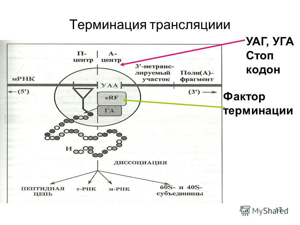 17 Терминация трансляции Фактор терминации УАГ, УГА Стоп кодон