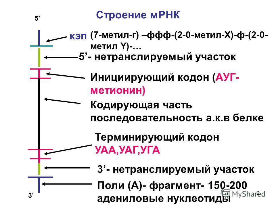2 Строение мРНК кип 5- нетранслируемый участок Инициирующий кодон (АУГ- метионин) Кодирующая часть последовательность а.к.в белке Терминирующий кодон УАА,УАГ,УГА 3- нетранслируемый участок Поли (А)- фрагмент- 150-200 адениловые нуклеотиды 5 3 (7-мети