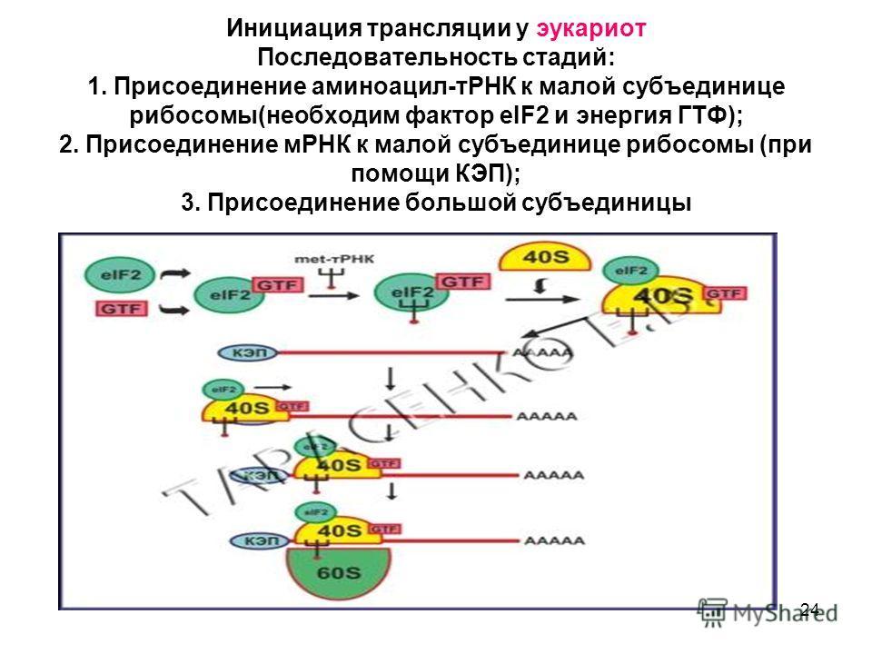 24 Инициация трансляции у эукариот Последовательность стадий: 1. Присоединение аминоацил-тРНК к малой субъединице рибосомы(необходим фактор eIF2 и энергия ГТФ); 2. Присоединение мРНК к малой субъединице рибосомы (при помощи КЭП); 3. Присоединение бол
