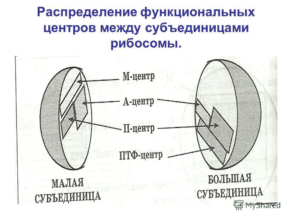 8 Распределение функциональных центров между субъединицами рибосомы.