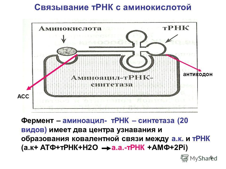 9 Связывание тРНК с аминокислотой Фермент – аминоацил- тРНК – синтетаза (20 видов) имеет два центра узнавания и образования ковалентной связи между а.к. и тРНК (а.к+ АТФ+тРНК+Н2О а.а.-тРНК +АМФ+2Рi) АСС антикодон