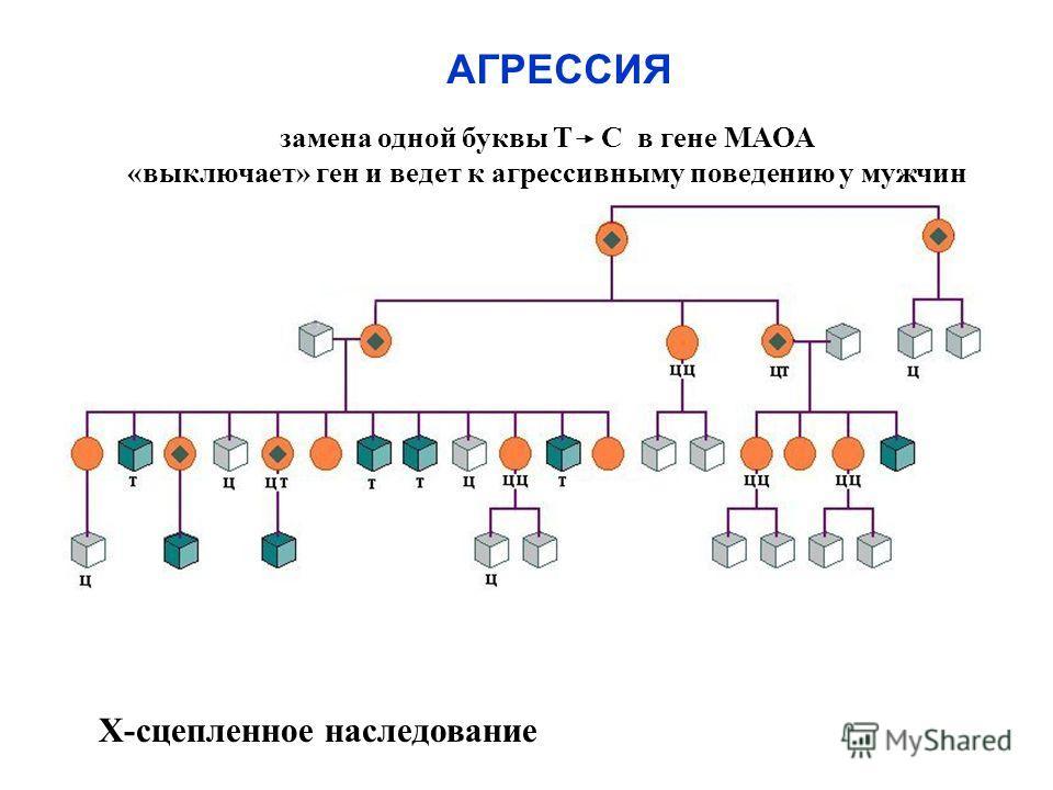 замена одной буквы Т С в гене МАОА «выключает» ген и ведет к агрессивному поведению у мужчин Х-сцепленное наследование АГРЕССИЯ