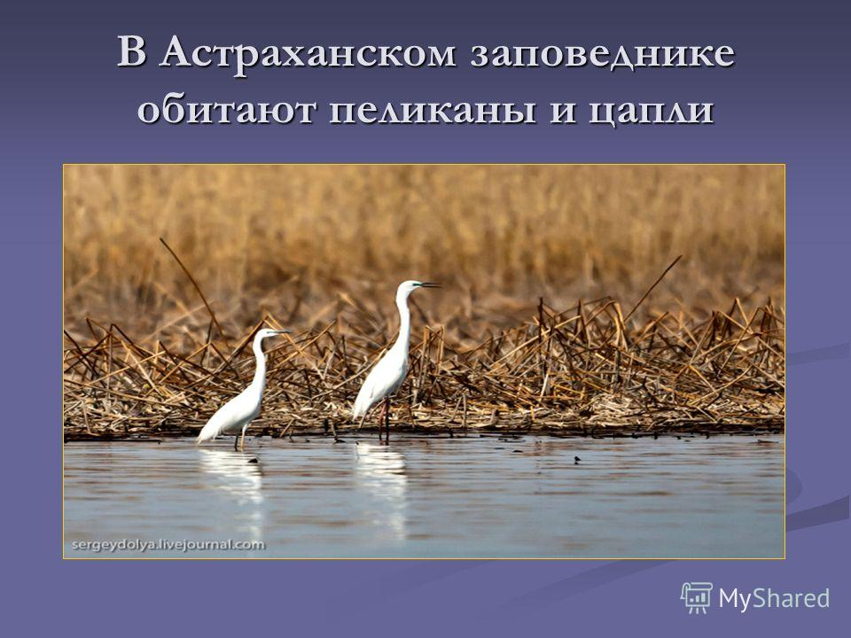 В Астраханском заповеднике обитают пеликаны и цапли