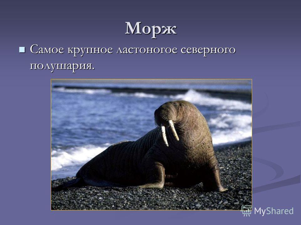 Морж Самое крупное ластоногое северного полушария. Самое крупное ластоногое северного полушария.