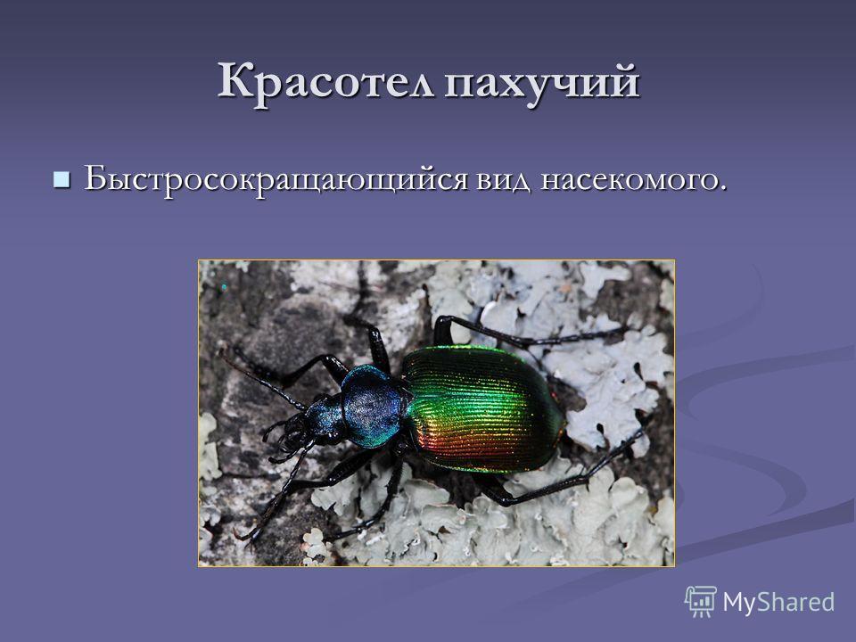 Красотел пахучий Быстросокращающийся вид насекомого. Быстросокращающийся вид насекомого.