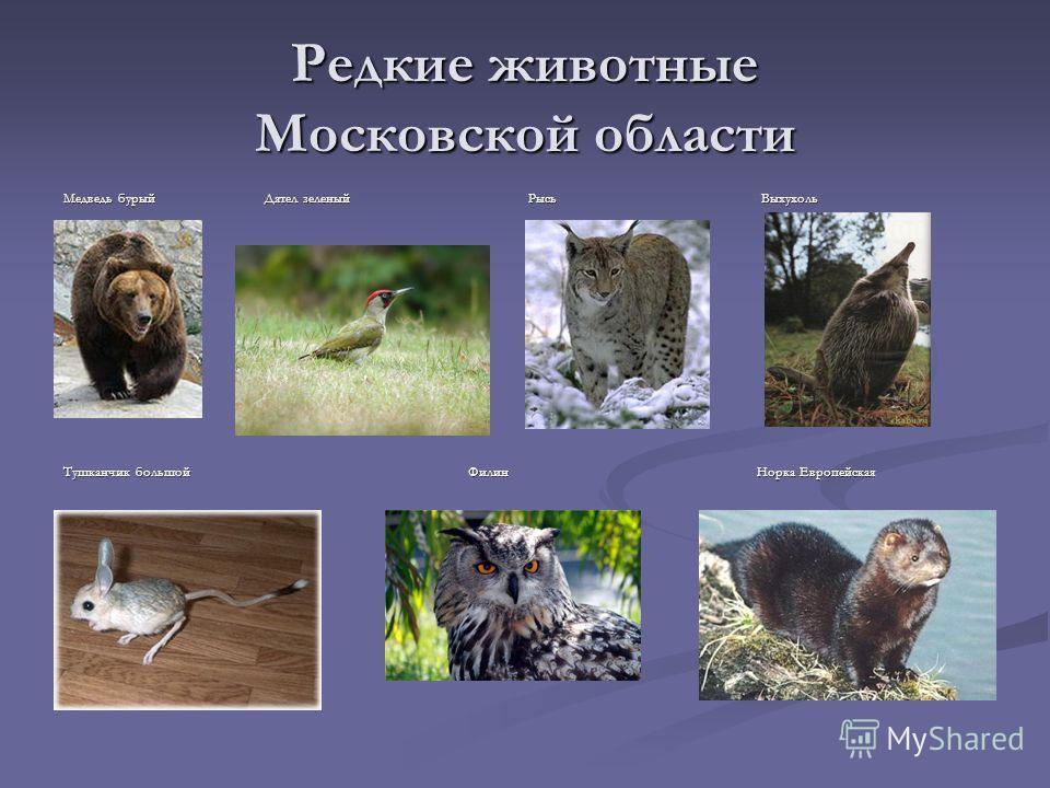 Редкие животные Московской области Медведь бурый Дятел зеленый Рысь Выхухоль Тушканчик большой Филин Норка Европейская