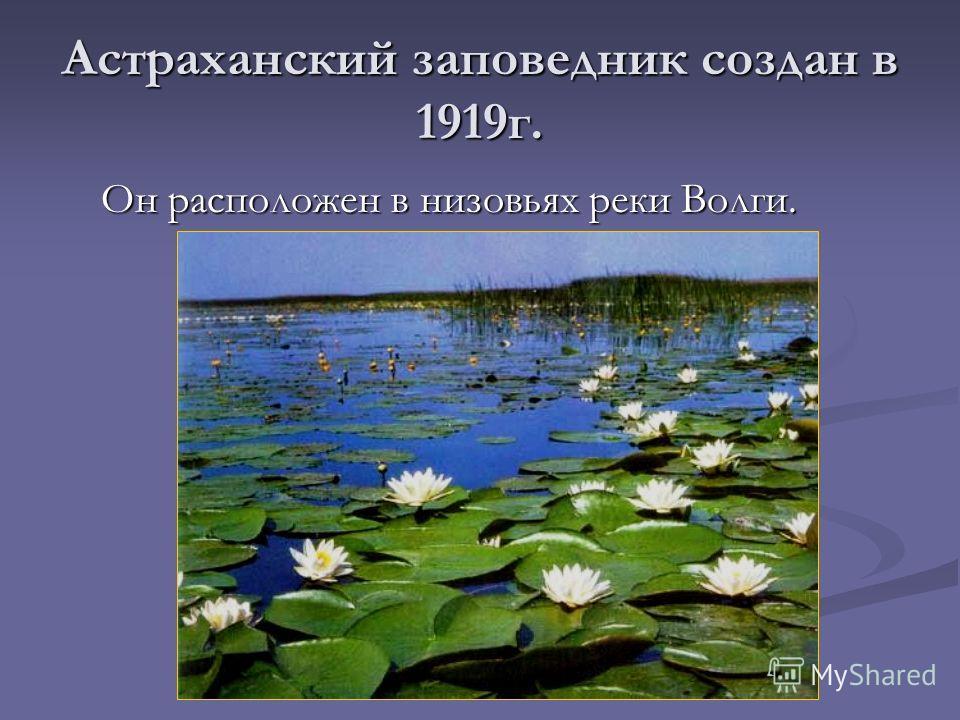 Астраханский заповедник создан в 1919 г. Он расположен в низовьях реки Волги. Он расположен в низовьях реки Волги.