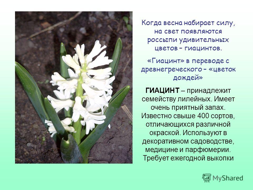 МУСКАРИ –принадлежит се- мейству лилейных. Название дано по аромату цветков, напо- минающему запах мускуса. На одном месте произрастает 6 лет Давай пройдемся медленно по лугу И «Здравствуй!» скажем каждому цветку. Я должен над цветами наклониться Не