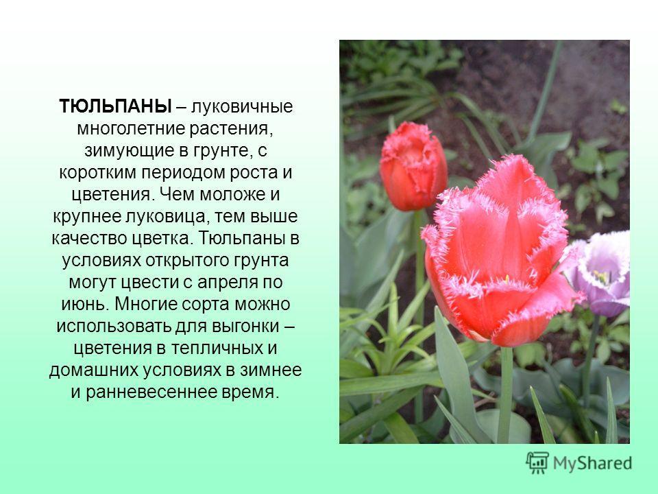Вслед за нарциссами расцветают тюльпаны, и кажется, что сама природа устроила пиршество на земле и всем своим поклонникам протягивает разноцветные оригинальные бокальчики. Одна из легенд повествует. Когда-то в цветке тюльпана было спрятано человеческ