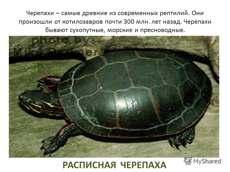 Черепахи – самые древние из современных рептилий. Они произошли от котилозавров почти 300 млн. лет назад. Черепахи бывают сухопутные, морские и пресноводные. РАСПИСНАЯ ЧЕРЕПАХА