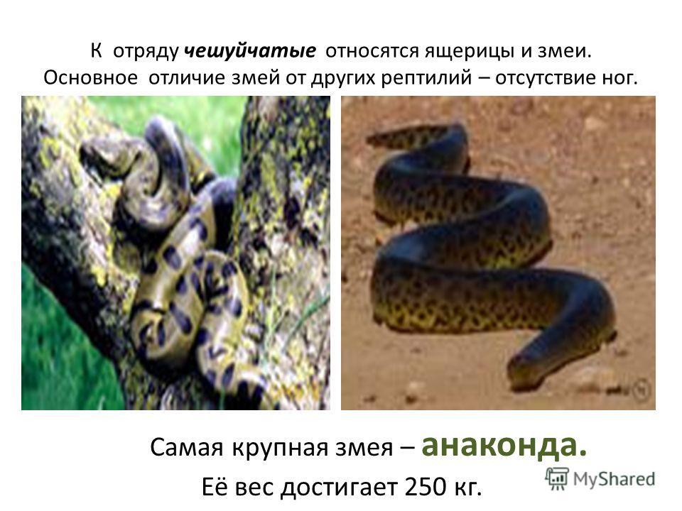 К отряду чешуйчатые относятся ящерицы и змеи. Основное отличие змей от других рептилий – отсутствие ног. Самая крупная змея – анаконда. Её вес достигает 250 кг.