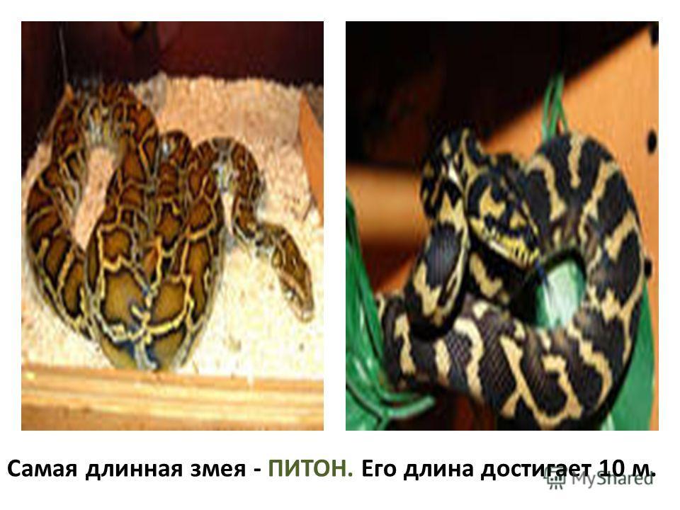 Самая длинная змея - ПИТОН. Его длина достигает 10 м.