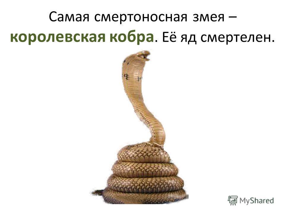 Самая смертоносная змея – королевская кобра. Её яд смертелен.