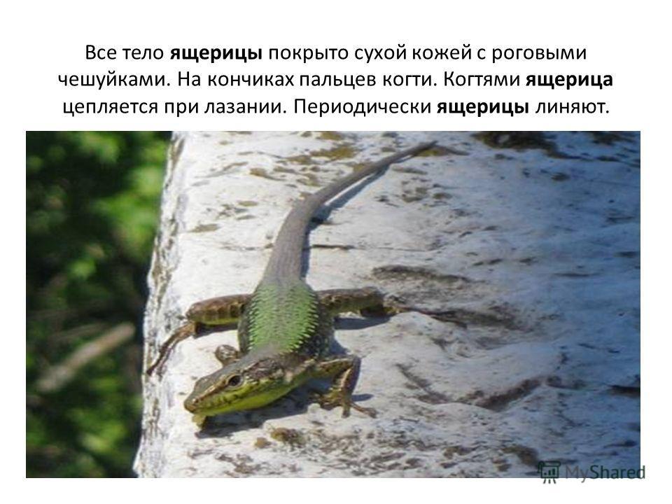 Все тело ящерицы покрыто сухой кожей с роговыми чешуйками. На кончиках пальцев когти. Когтями ящерица цепляется при лазании. Периодически ящерицы линяют.