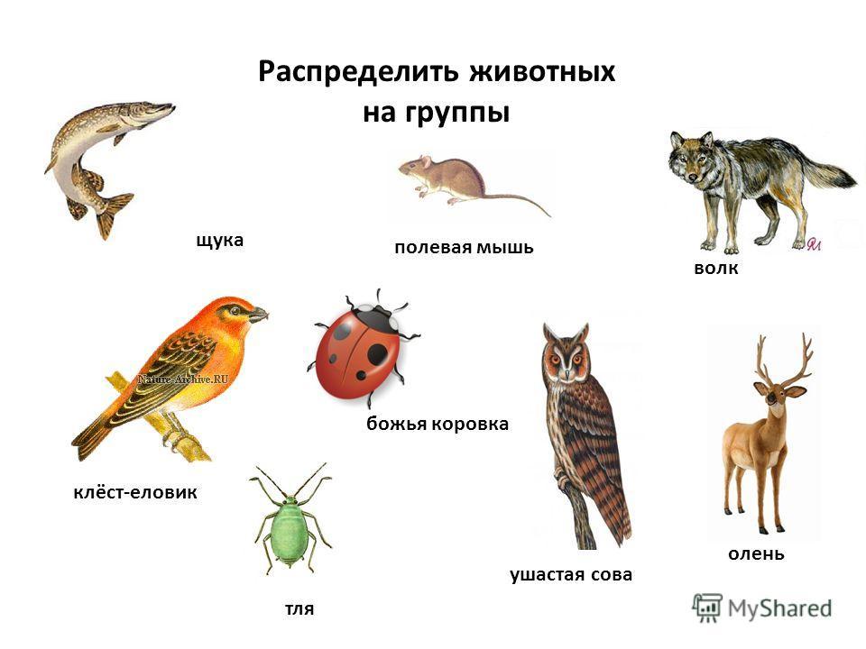 Распределить животных на группы щука полевая мышь волк олень тля клёст-еловик божья коровка ушастая сова