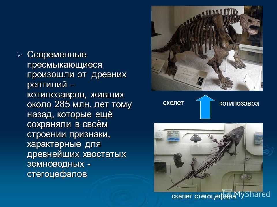 Современные пресмыкающиеся произошли от древних рептилий – котилозавров, живших около 285 млн. лет тому назад, которые ещё сохраняли в своём строении признаки, характерные для древнейших хвостатых земноводных - стегоцефалов Современные пресмыкающиеся