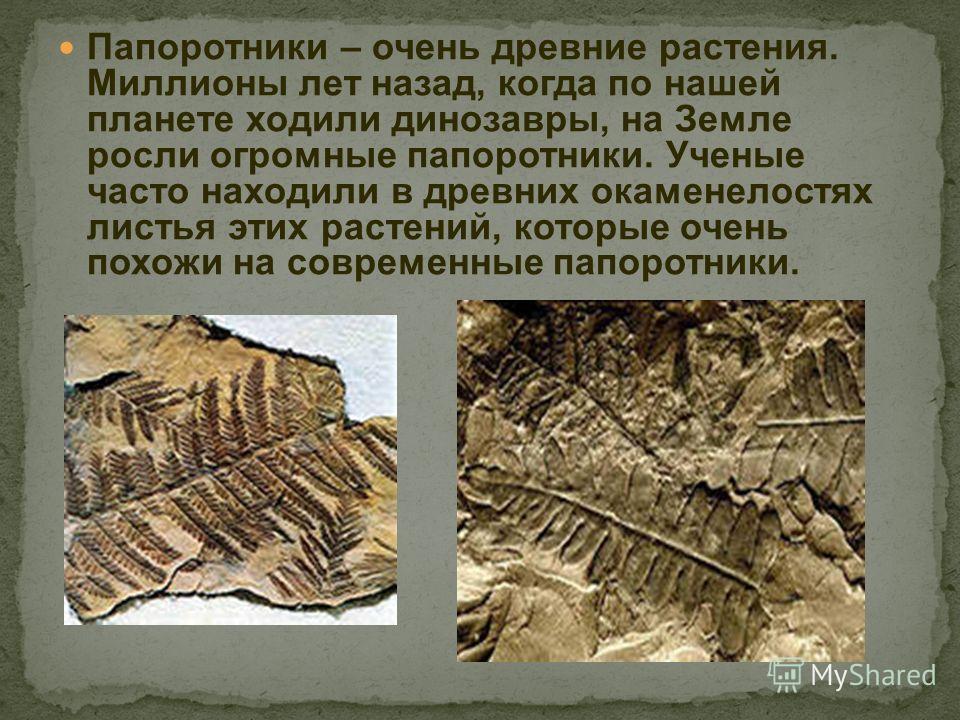 Папоротники – очень древние растения. Миллионы лет назад, когда по нашей планете ходили динозавры, на Земле росли огромные папоротники. Ученые часто находили в древних окаменелостях листья этих растений, которые очень похожи на современные папоротник
