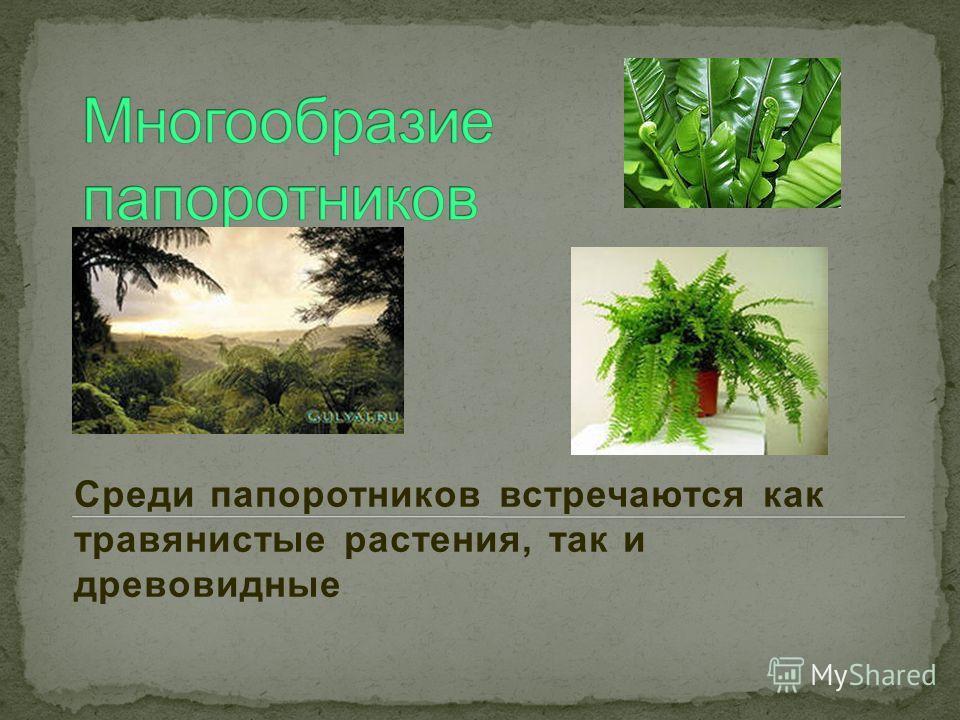Среди папоротников встречаются как травянистые растения, так и древовидные