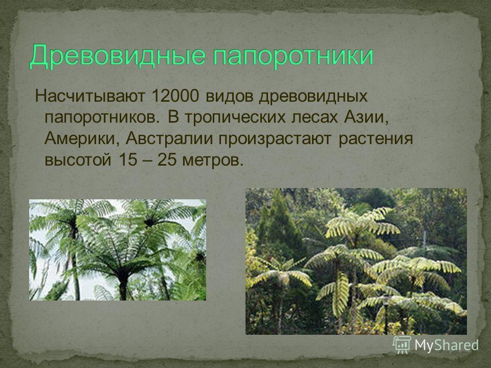 Насчитывают 12000 видов древовидных папоротников. В тропических лесах Азии, Америки, Австралии произрастают растения высотой 15 – 25 метров.