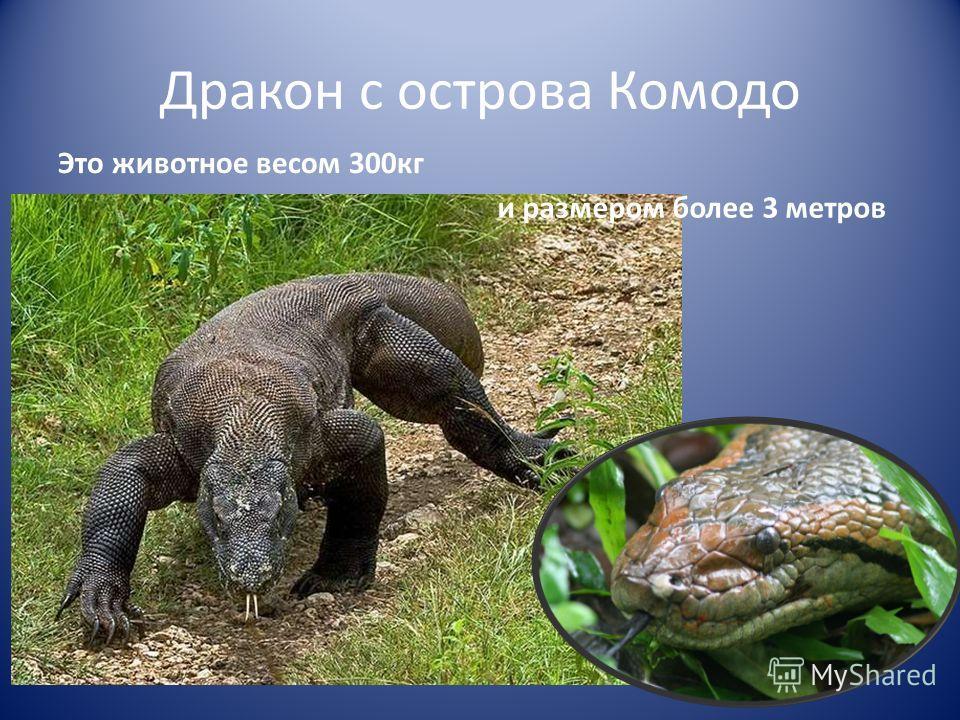 Дракон с острова Комодо Это животное весом 300 кг и размером более 3 метров