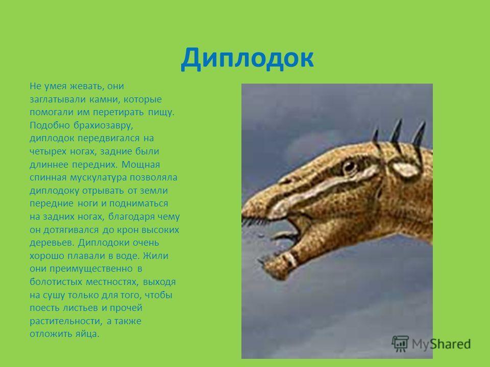 Диплодок Не умея жевать, они заглатывали камни, которые помогали им перетирать пищу. Подобно брахиозавру, диплодок передвигался на четырех ногах, задние были длиннее передних. Мощная спинная мускулатура позволяла диплодоку отрывать от земли передние