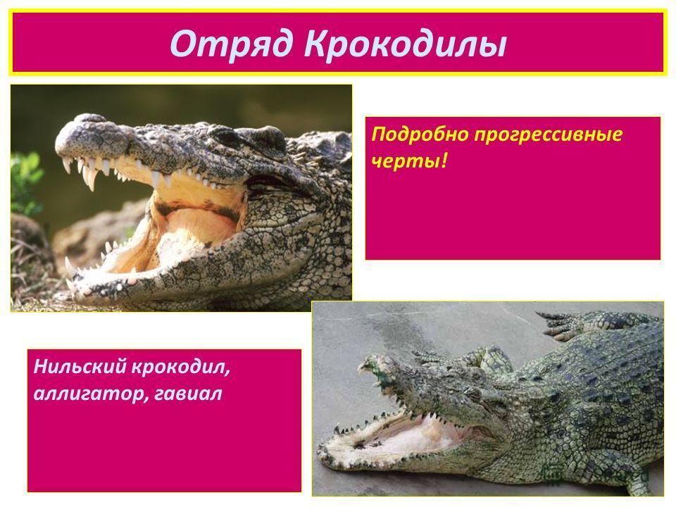 Отряд Крокодилы Подробно прогрессивные черты! Нильский крокодил, аллигатор, гавиал