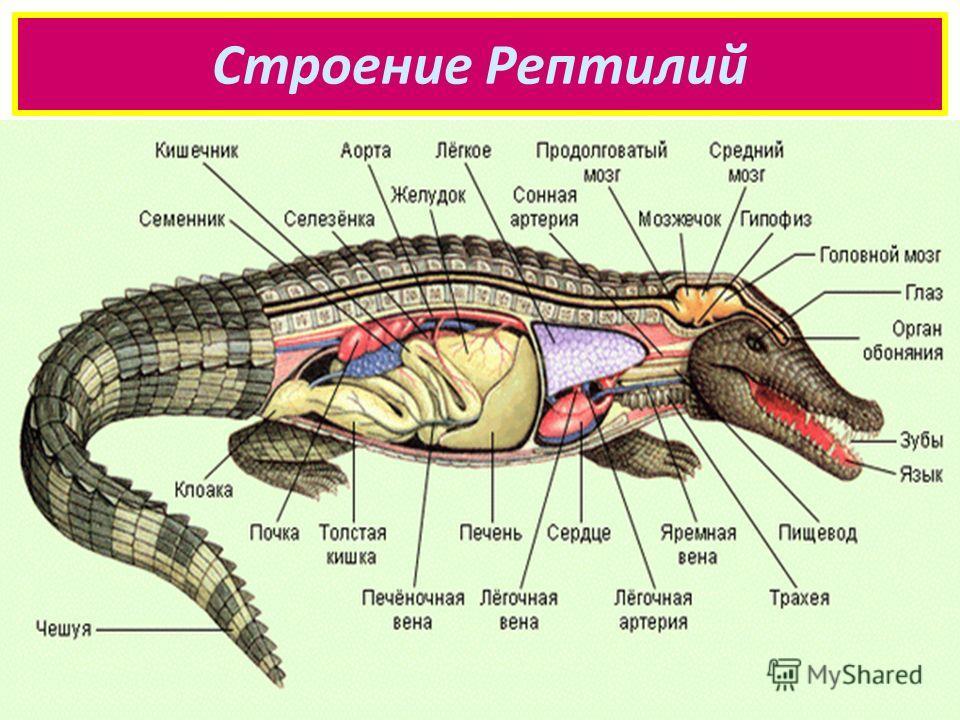 Строение Рептилий