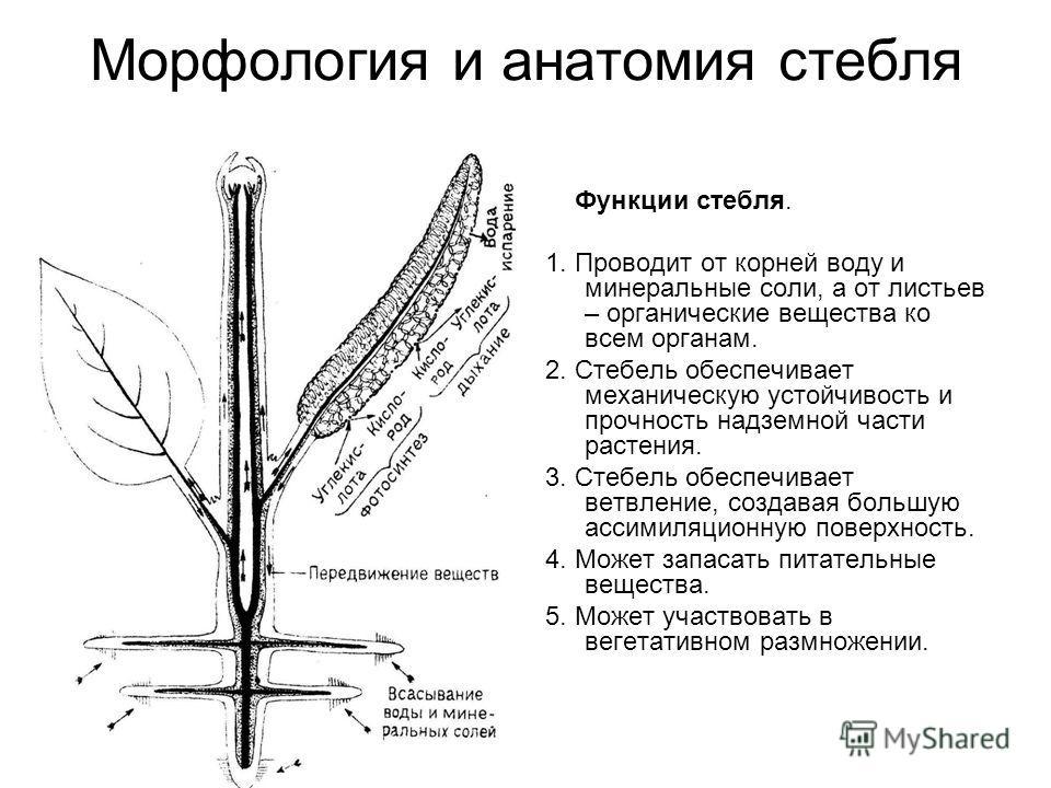Морфология и анатомия стебля Функции стебля. 1. Проводит от корней воду и минеральные соли, а от листьев – органические вещества ко всем органам. 2. Стебель обеспечивает механическую устойчивость и прочность надземной части растения. 3. Стебель обесп