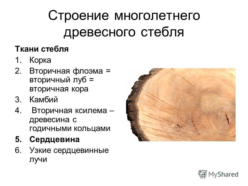 Строение многолетнего древесного стебля Ткани стебля 1. Корка 2. Вторичная флоэма = вторичный луб = вторичная кора 3. Камбий 4. Вторичная ксилема – древесина с годичными кольцами 5. Сердцевина 6. Узкие сердцевинные лучи