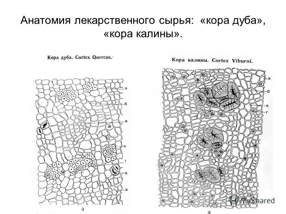 Анатомия лекарственного сырья: «кора дуба», «кора калины».