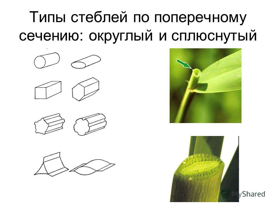 Типы стеблей по поперечному сечению: округлый и сплюснутый