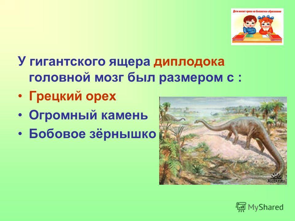 У гигантского ящера диплодока головной мозг был размером с : Грецкий орех Огромный камень Бобовое зёрнышко